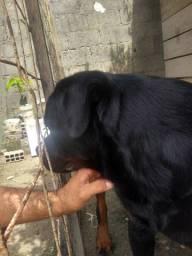 Rottweiler para cobertura em Rio Largo, Alagoas