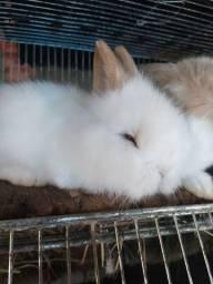 Mini coelho / porquinho da india