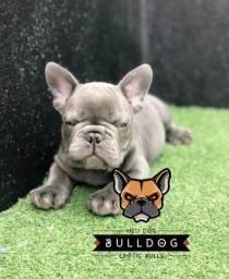 Bulldog francês Blue solido