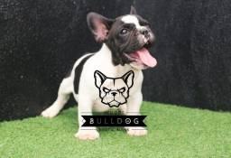 Bulldog francês Pirata Macho