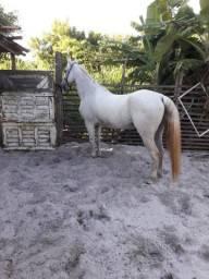 Cavalo mestiço de QM,muito dócil.