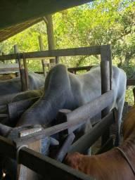 Vendo touro