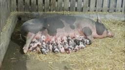 Procura se filhote de porco
