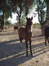 Vendo ou troco Cavalo por bezerro ou reboque