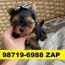 Canil Lindos Filhotes Cães BH Yorkshire Poodle Basset Lhasa Shihtzu Maltês Beagle Pug