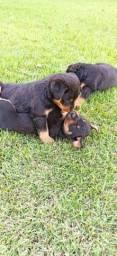 Rottweiler disponível