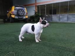 Bulldog francês disponível para cobertura