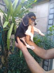 Lindos filhotes machos e fêmeas da raça Beagle