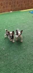 Lindos filhotes de Bulldog Francês em Passo Fundo