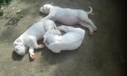 Filhotes de Cachorro Raça Dogo Argentino