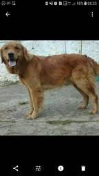 Golden Retriever Fêmea procura macho para cruzamento