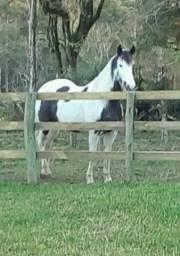 Egua paint horse sem documento