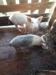 Vende-se porquinhos de raça