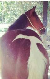Potra 3/4 Paint Horse