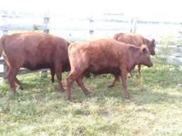 Troco por Bufalos