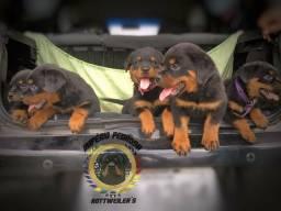 Imperdível! Filhotes de Rottweiler Dividimo em até 10x no cartão