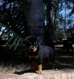 Filhotes de Rottweiler puro disponível!