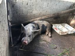 Porco para abater