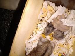 Hamster anão Russo Claro com com olhos vermelhos, e cinza com listras pretas