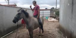 Troco por mula ,égua marcha picada tordilha