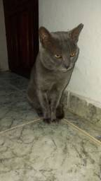 Gato cinza russo procura namorada