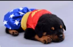 CanilCityPet filhotinhos de Rottweiler pronta entrega pgto  facilitado