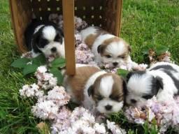Lindos filhotes de Shih tzu!