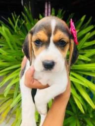 ## padrão da raça beagle porte pequeno com pedigree