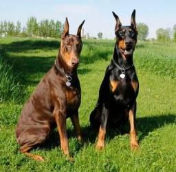 Cães da raça Doberman (11) 2554-9483
