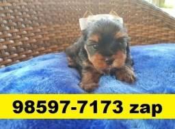 Canil Filhotes Cães Top BH Yorkshire Basset Pug Beagle Shihtzu Maltês Lhasa