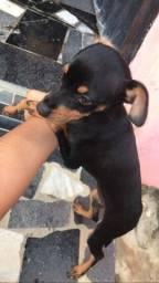 Cachorro Pincher fêmea n?2