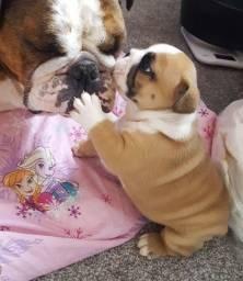Bulldog Inglês - Filhotes maravilhosos disponiveis