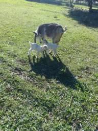 Cabrita com casal de filhotes