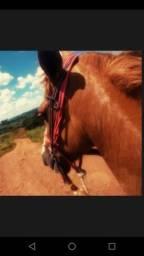 Cavalo Manga Larga Paulista