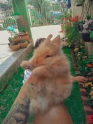 Filhotes de coelhos mini laion