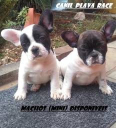 Bulldog Frances : Machos (Mini) porte pequeno