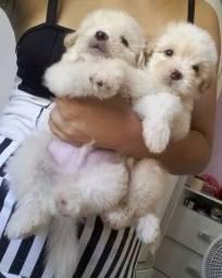 Filhote poodle