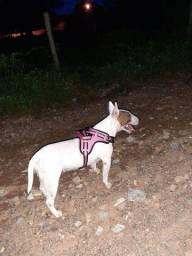 Cachorro bull terrier inglês