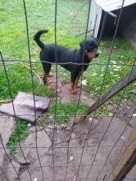 Doação de um Rottweiler