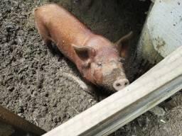 Vendo porca ou troco