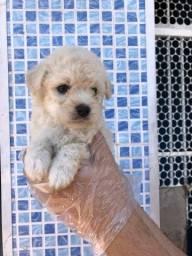 Poodle toy filhotes lindos e fofinhos
