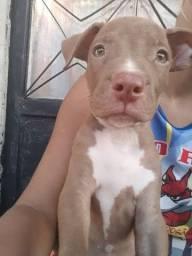 Estou doando esse filhote de Pitbull .