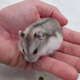Hamster Fofinho, Manso e Saudável