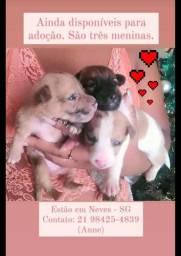 3 cadelinhas fêmeas de 2 meses sem raça definida para Adoção Amorosa e Responsável