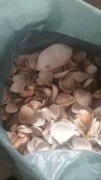 Lindas conchas já limpas para quem fás artesanatos