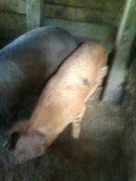 Porco e leitão caipira