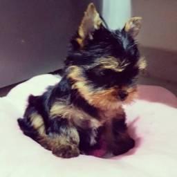 Yorkshire Terrier Fêmea, 60 dias, registradas