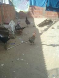 Vendo galinha aipira