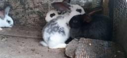 Filhotes de coelho grande