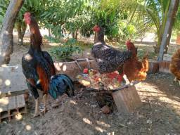 Vendo 4 galinha gordas com 6 meses de nascidas é um galo *